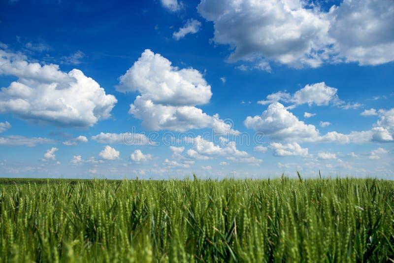 Ciel bleu avec les nuages blancs au-dessus du champ du blé image libre de droits