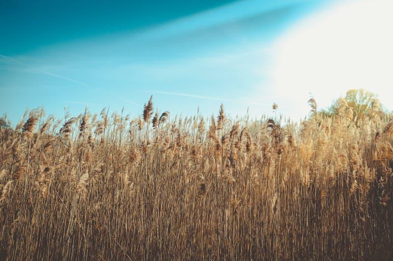 Ciel bleu d'anad d'herbe sauvage photographie stock libre de droits