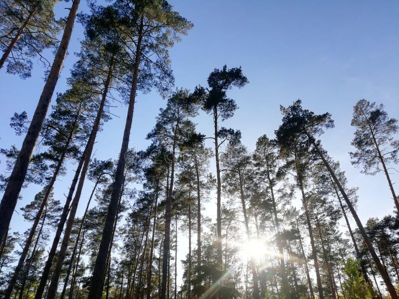 Ciel bleu d'arbres de coucher du soleil de forêt photos libres de droits