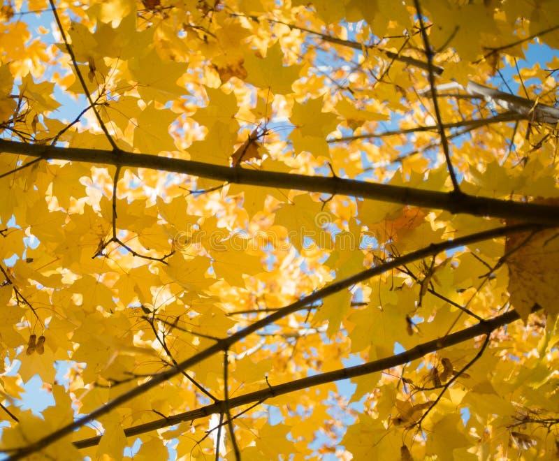 ciel bleu de feuille d'érable de branche d'arbre de lumière du soleil de fond extérieur jaune de bokeh images stock