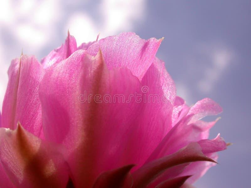 Ciel bleu de fleur rose de cactus photo libre de droits