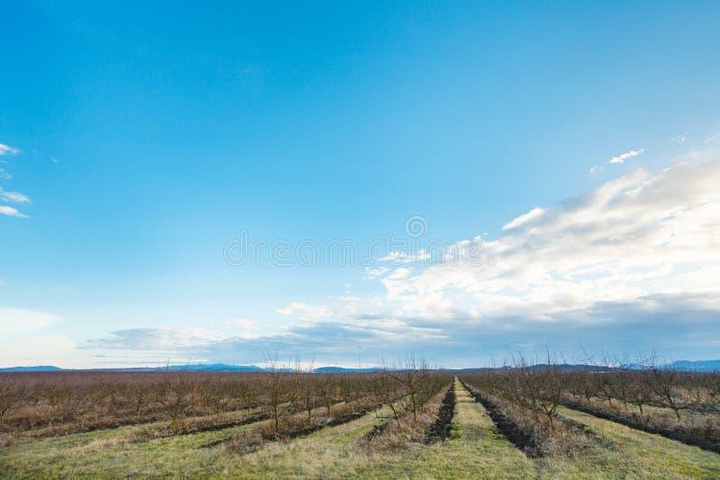 Ciel bleu de soirée au-dessus des pommiers nus dans le verger image stock