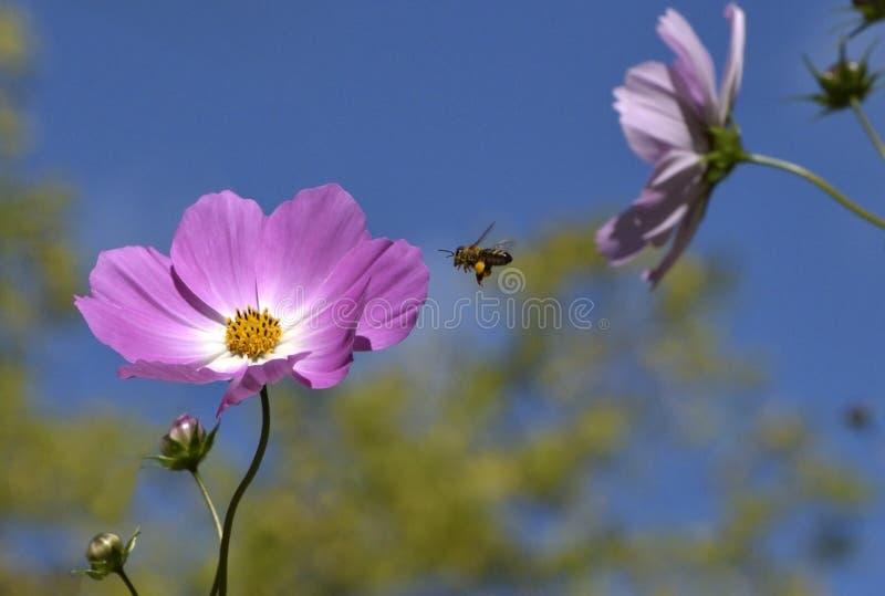 Ciel bleu Honey Bee de fleur rose images stock