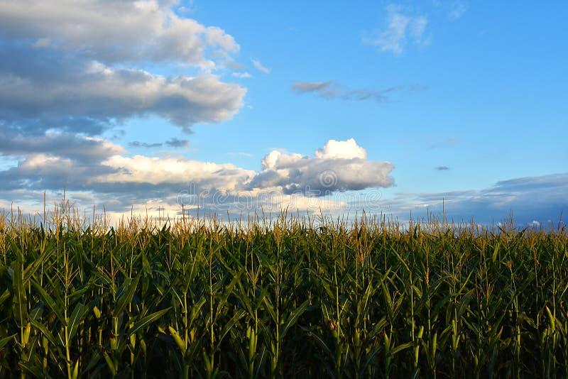Ciel bleu, nuages et champ de maïs photos libres de droits