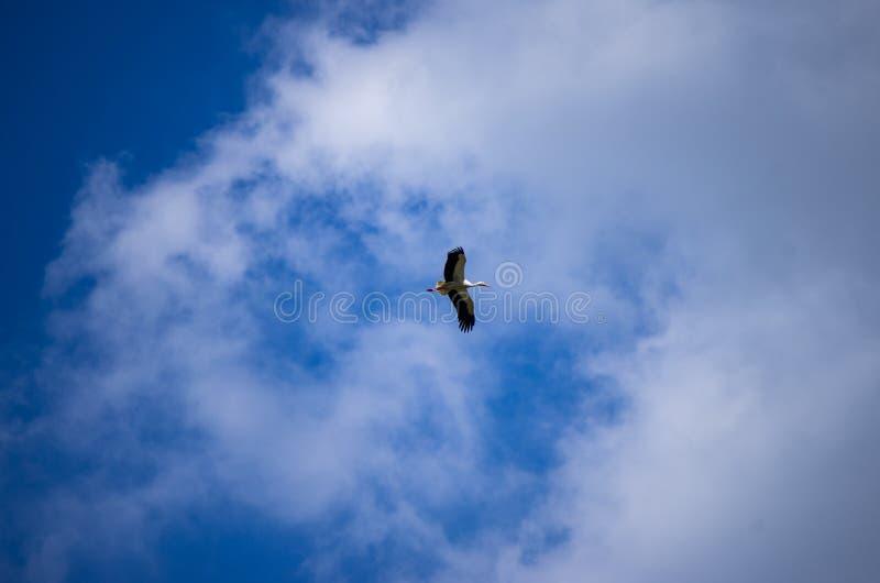 Ciel bleu volant simple de cigogne avec les nuages blancs photos libres de droits