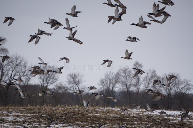 Ciel complètement des canards photos libres de droits