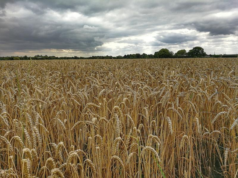Ciel déprimé au-dessus du champ de maïs image libre de droits