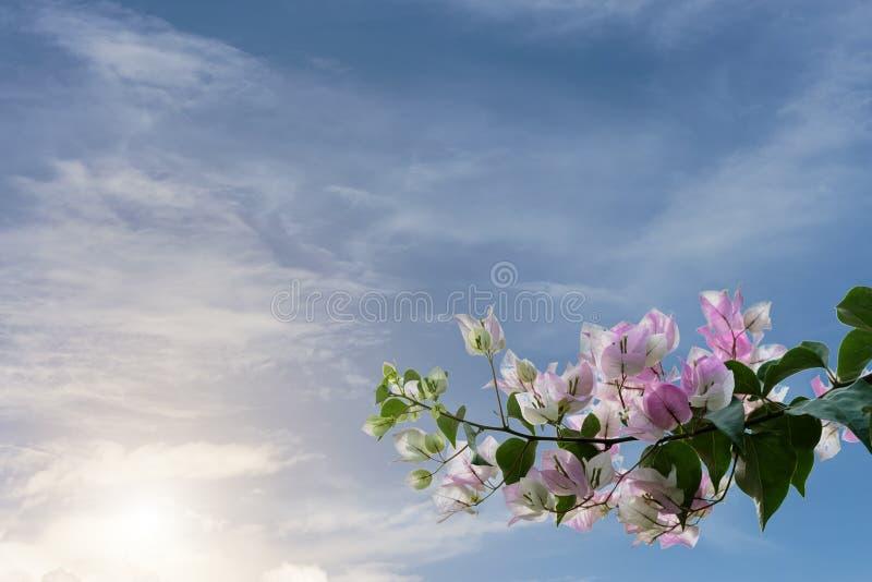 Ciel de bouganvillée illustration de vecteur