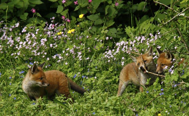 Ciel de Fox CUB photos libres de droits