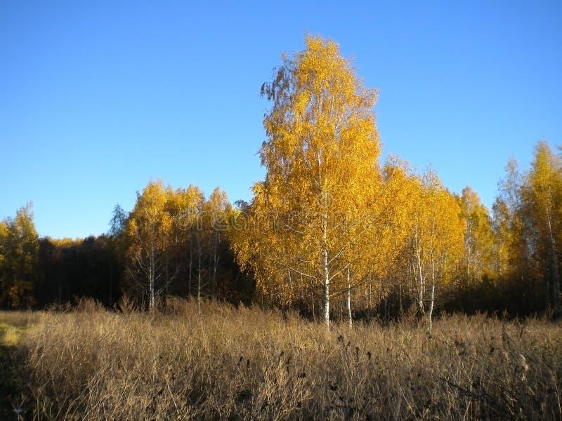Ciel lumineux bleu, automne, arbres jaunes, herbe sèche dans le pré photographie stock