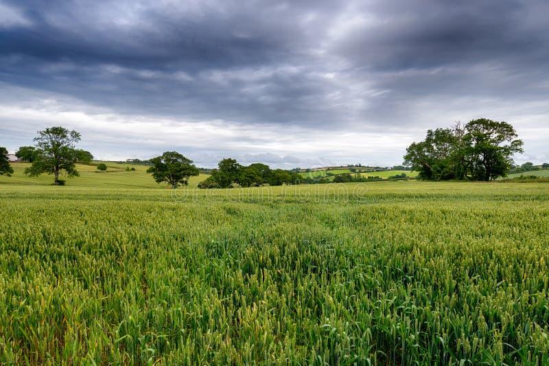 Ciel orageux au-dessus d'un champ de maïs images libres de droits