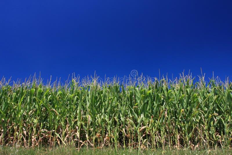 ciel sans nuages de maïs photo libre de droits