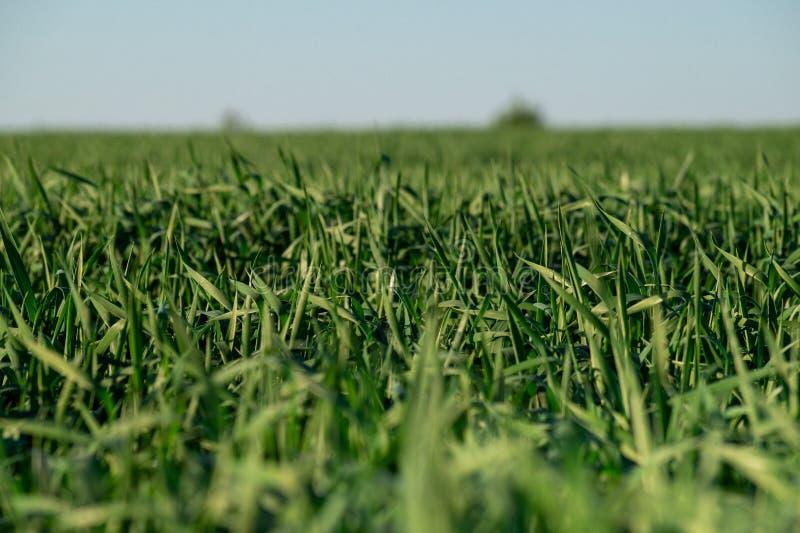 Ciel vert illimité de champ de blé photographie stock