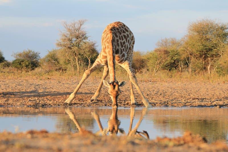 Cieli blu d'oro della giraffa e Sun africano fotografie stock libere da diritti