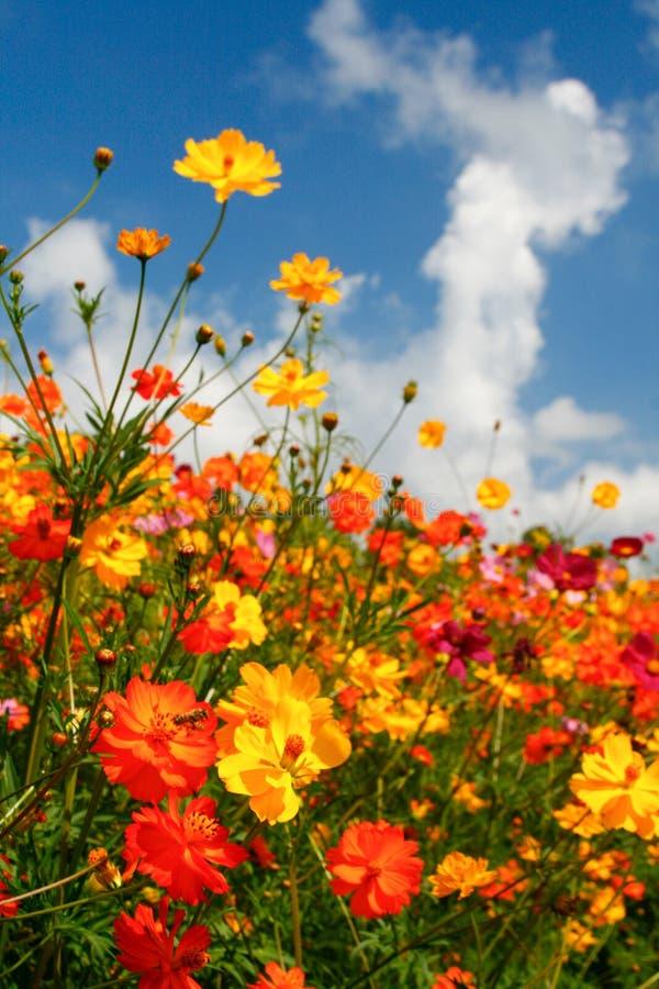 Cieli blu, nubi bianche e Wildflowers brillanti fotografie stock libere da diritti