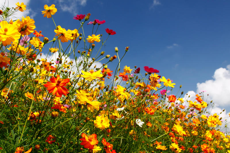 Cieli blu, nubi bianche e Wildflowers variopinti immagini stock libere da diritti
