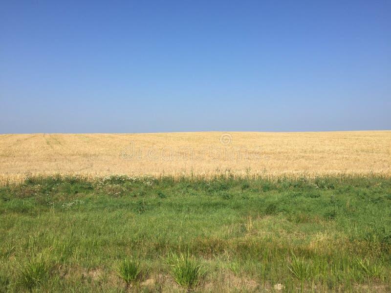 Cielo azul, campo del centeno, hierba verde fotografía de archivo