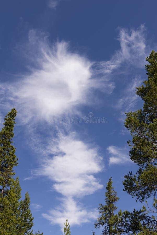 Cielo azul con las coníferas de Nordland foto de archivo