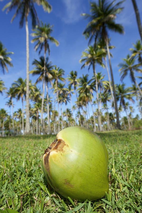 Cielo azul de la arboleda de las palmeras de la hierba verde del coco fotos de archivo