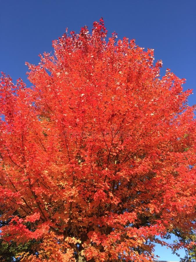 Cielo azul del árbol rojo imagen de archivo libre de regalías