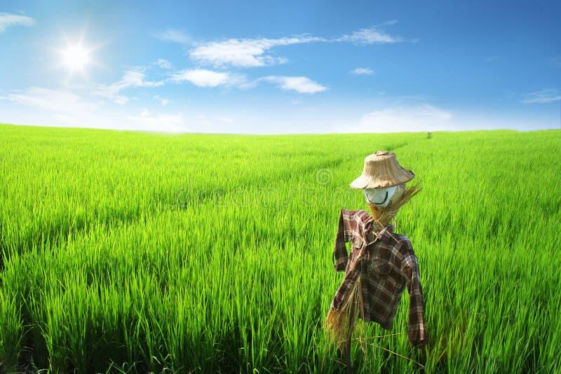Cielo azul del campo del arroz fotos de archivo libres de regalías