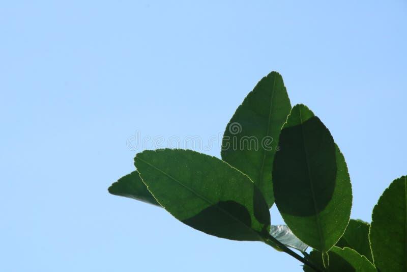 Cielo azul y hoja verde fotografía de archivo