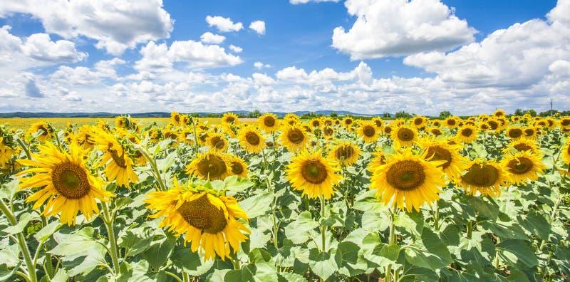 Cielo blu dei girasoli e natura Sommer Season delle nuvole di bianco fotografie stock libere da diritti