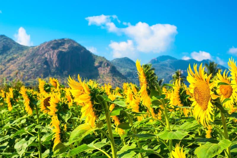 cielo blu del girasole con le montagne in India fotografie stock