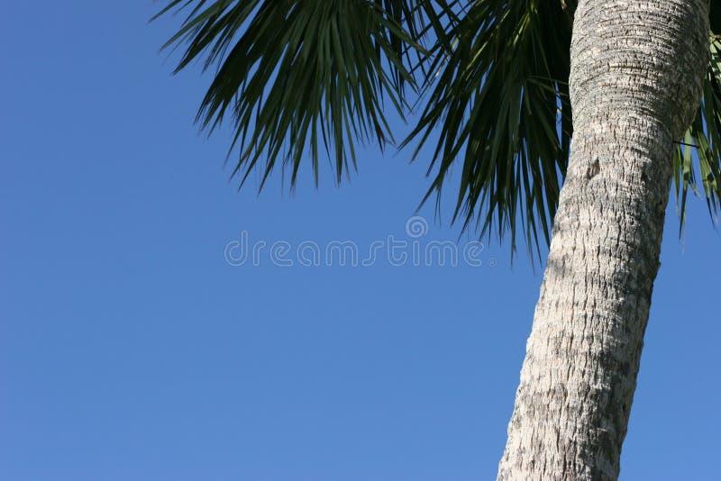 Cielo blu del treewith della palma. fotografia stock
