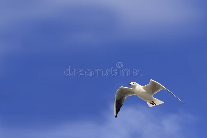 Cielo blu della colomba di bianco fotografie stock libere da diritti
