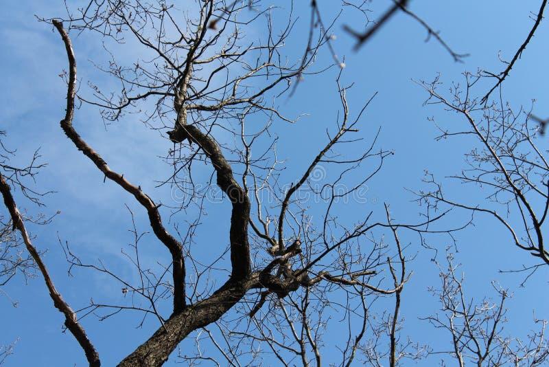 Cielo blu della molla Il cielo infinito Alberi contro il cielo blu Alberi senza fogliame fotografie stock libere da diritti