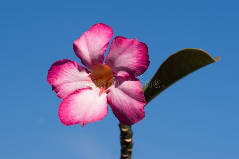 Cielo blu della rosa del deserto immagine stock libera da diritti