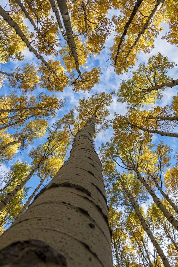 Cielo blu di Aspen Trees Soaring To The fotografie stock