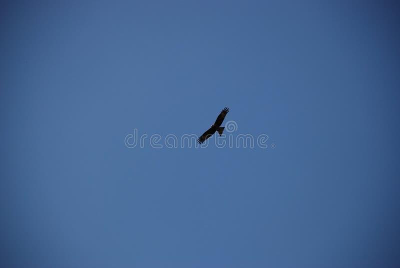 Cielo blu di volo dell'aquila reale alto in chiaro fotografia stock libera da diritti