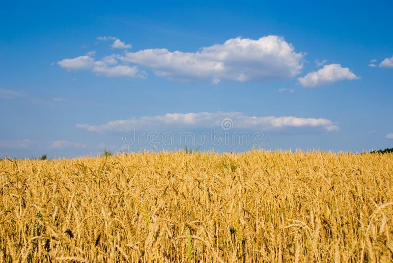 Cielo blu e frumento fotografia stock