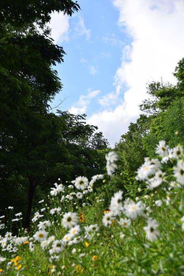 Cielo blu e margherite fotografia stock libera da diritti