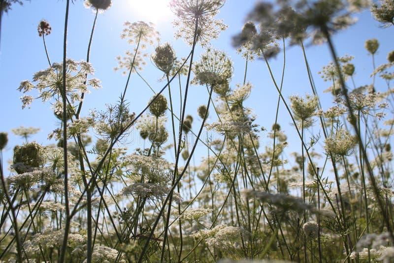 Cielo blu Piante contro il cielo Il sole di estate Le piante stanno fiorendo Umore di estate immagine stock