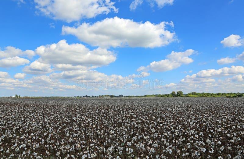 Cielo blu sopra il campo del cotone fotografie stock