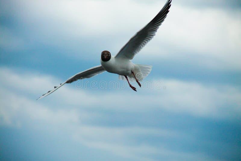 Cielo del blanco de la gaviota fotografía de archivo libre de regalías