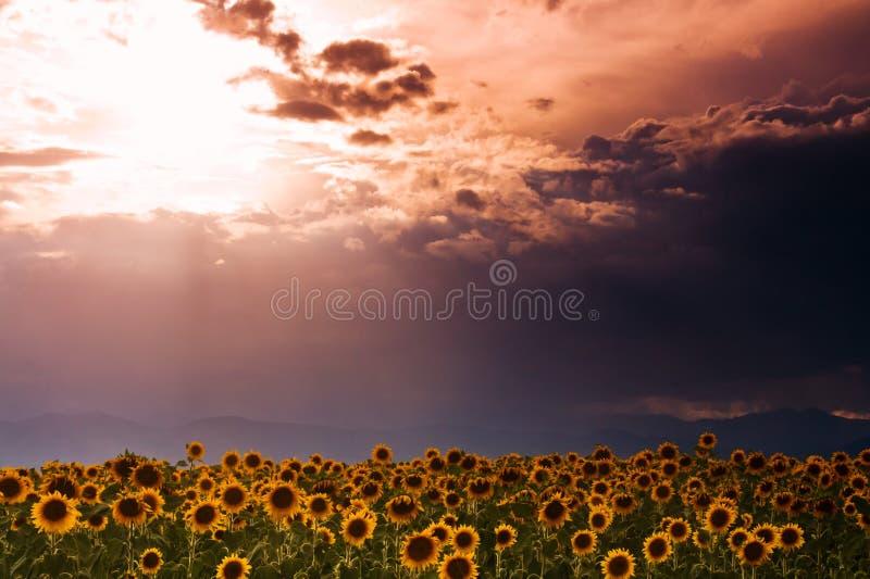 Cielo del girasol imagen de archivo