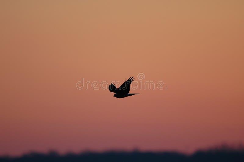 Cielo del halcón foto de archivo