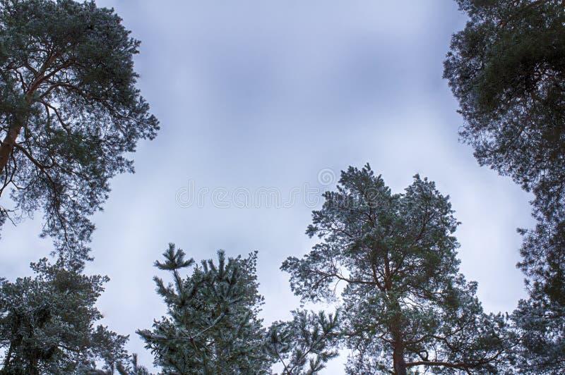 Cielo del invierno, tops del árbol, marco Ramas nevadas imagen de archivo