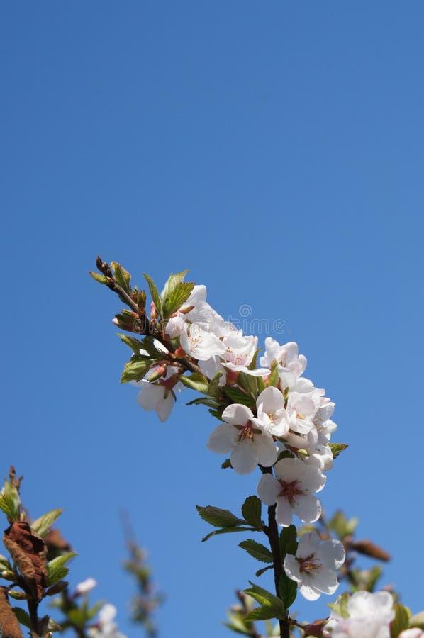 Cielo della ciliegia immagine stock