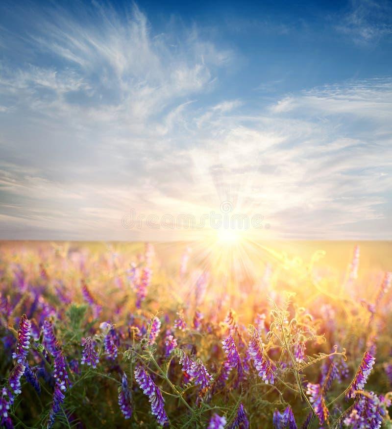 Cielo di alba sopra il giacimento di fiore immagine stock libera da diritti