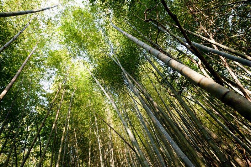 Cielo di bambù della foresta fotografia stock
