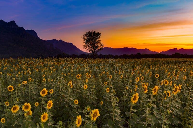 Cielo dramático de la puesta del sol sobre campo del girasol fotos de archivo libres de regalías