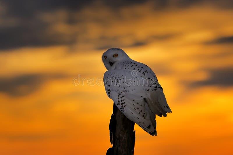 Cielo hermoso de la puesta del sol con el b?ho del vuelo B?ho Nevado, scandiaca de Nyctea, p?jaro raro que se sienta en el tronco fotografía de archivo libre de regalías