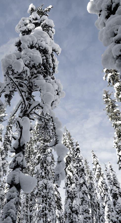 Cielo incorniciato dagli alberi - Lapponia fotografie stock