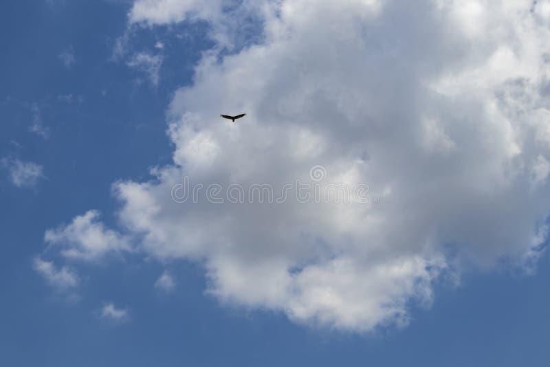 Cielo muy azul con nubes mullidas hermosas y un águila solitaria que vuela arriba arriba fotos de archivo