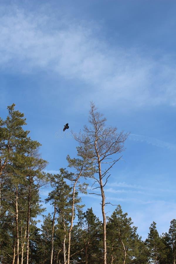 Cielo Nubes Pájaro Cuervo Árboles Árbol conífero fotos de archivo
